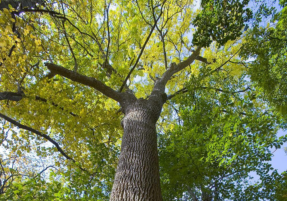 ヤチダモの大木