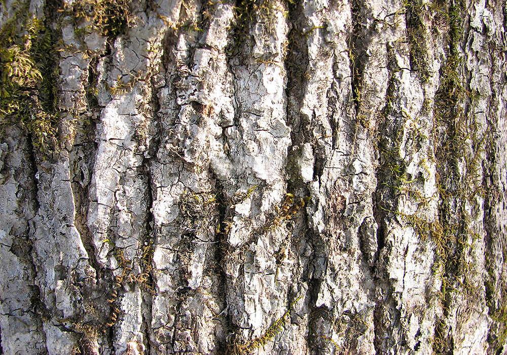 ヤチダモの樹皮