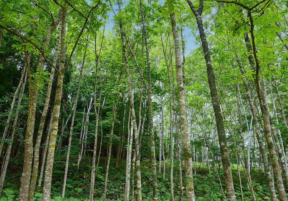 ヤチダモの林