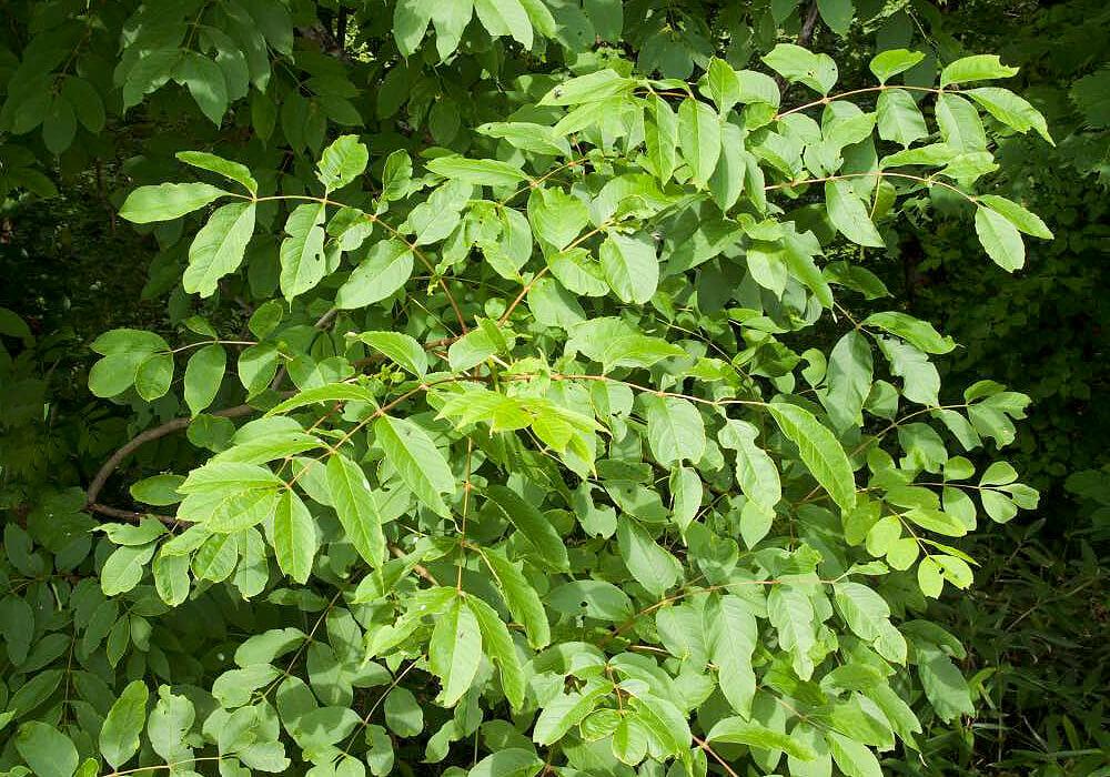 ヤチダモの葉