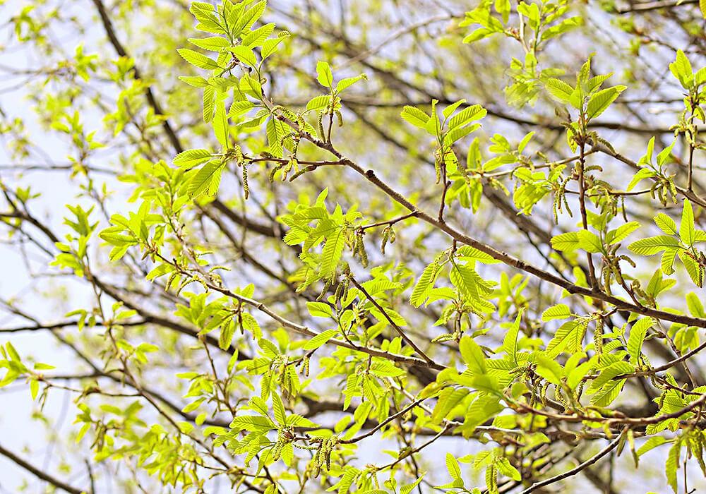 アベマキの新緑