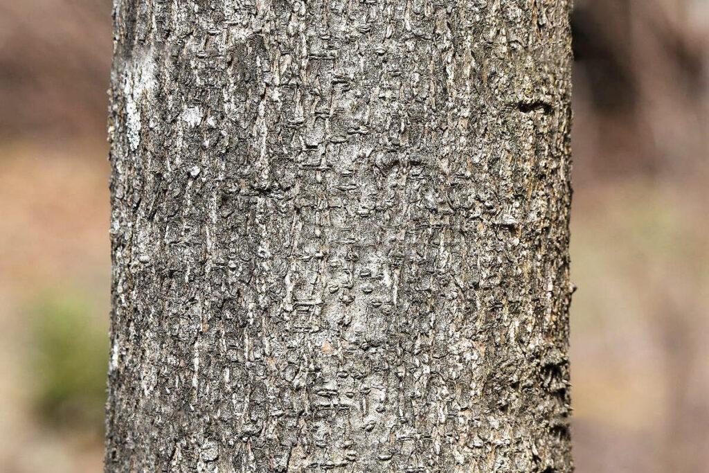 エンジュの樹皮