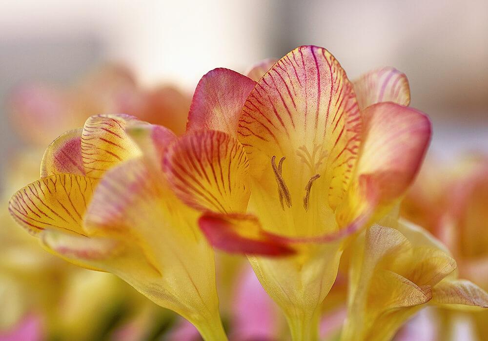 複色のフリージアの花