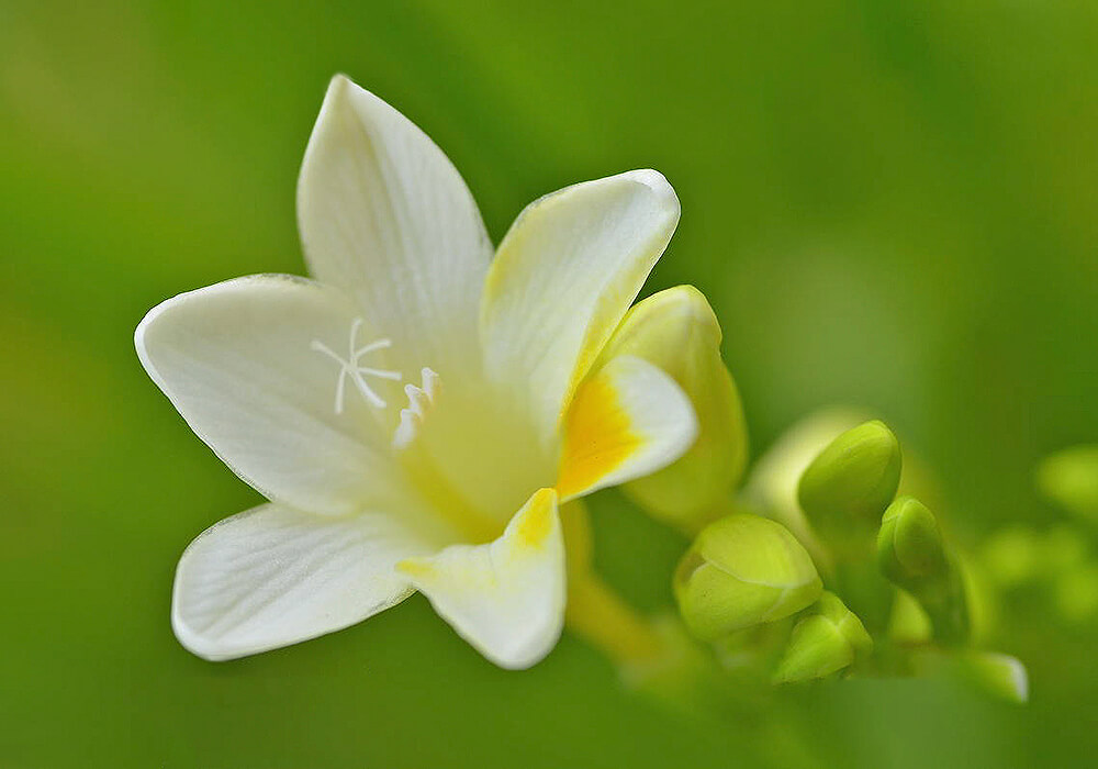 白いフリージアの花