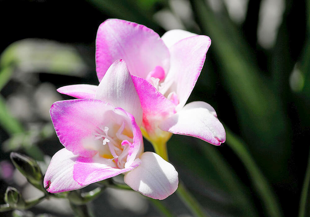 ピンクのフリージアの花