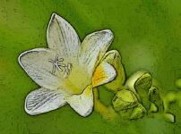 フリージアの植物図鑑と育て方