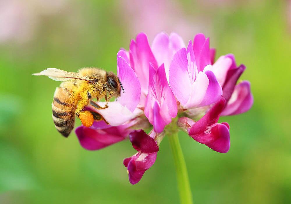 ゲンゲの花と蜂