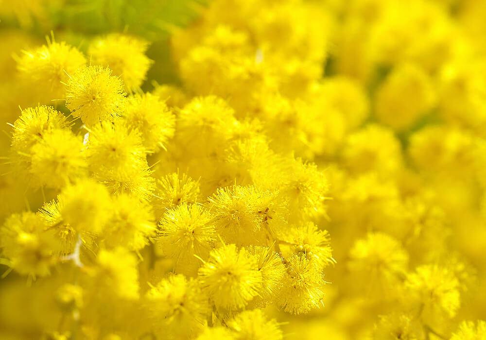 ギンヨウアカシアの花の拡大