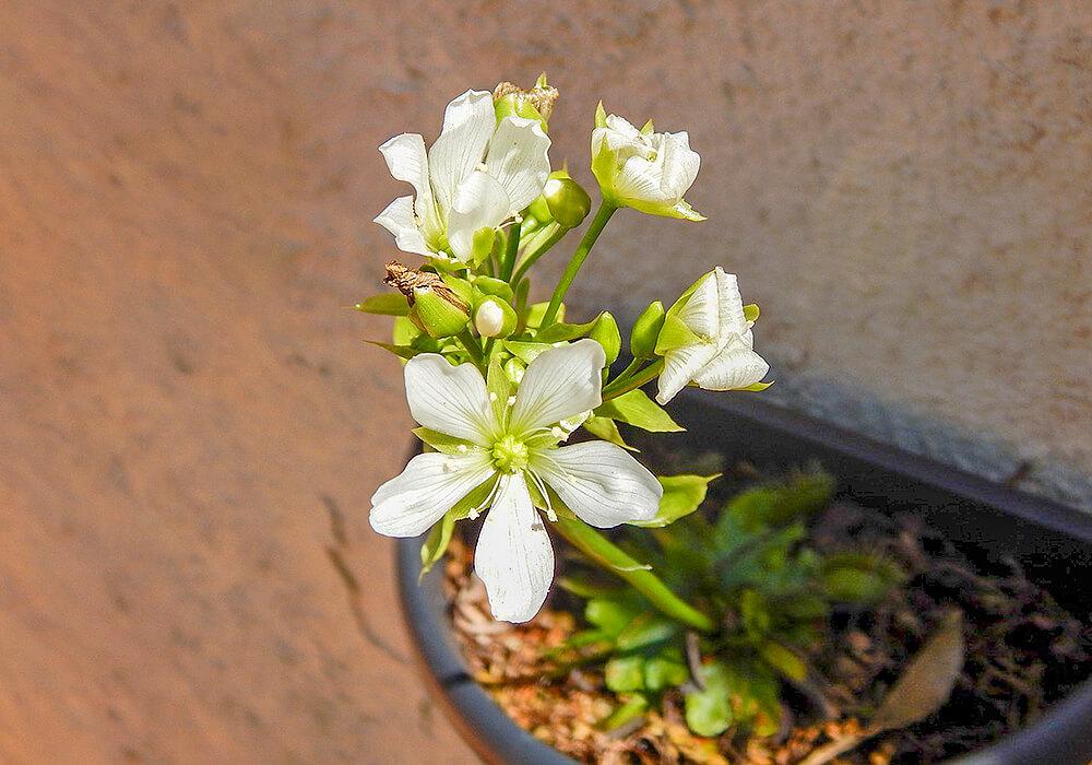 ハエトリグサの花