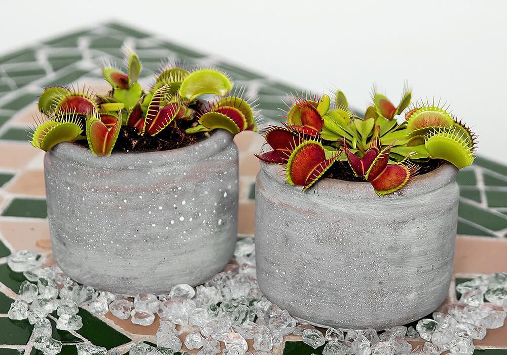 ハエトリグサの鉢