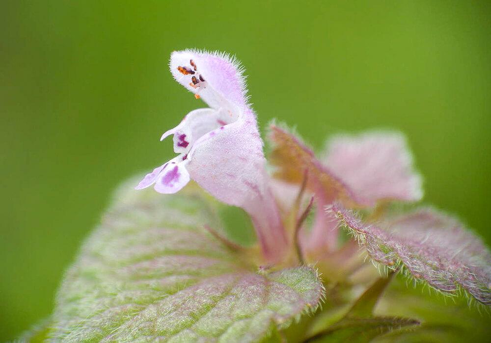 ヒメオドリコソウの花の拡大