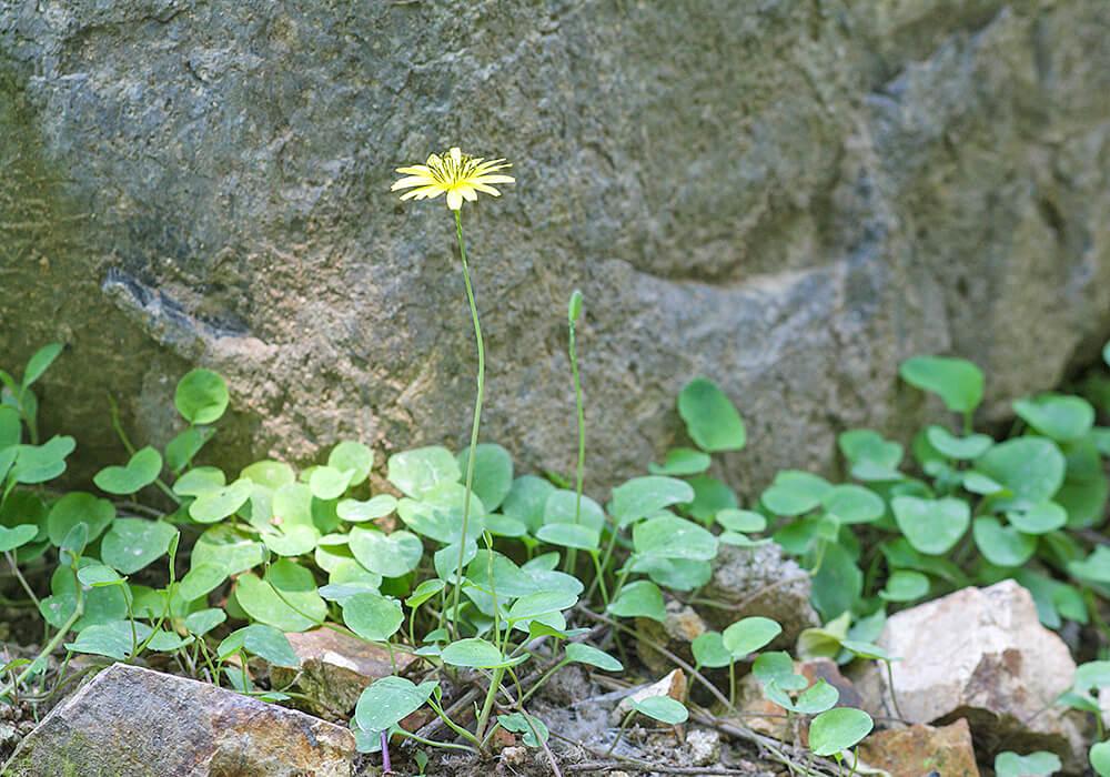 岩場に生えるイワニガナ