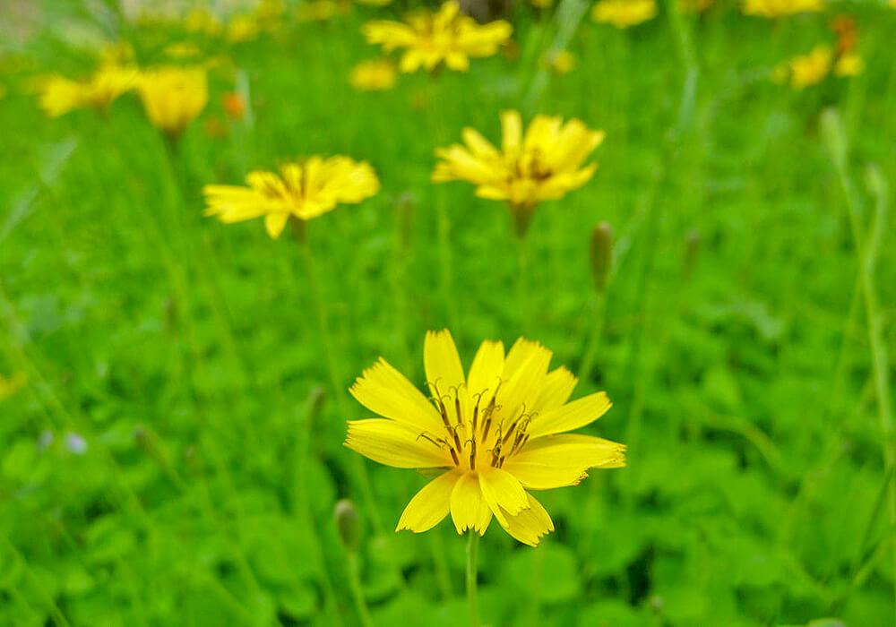 イワニガナの花