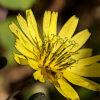 イワニガナの植物図鑑と育て方