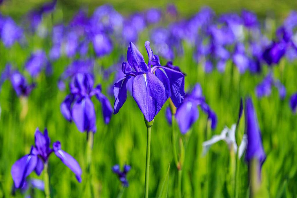 紫色のカキツバタ