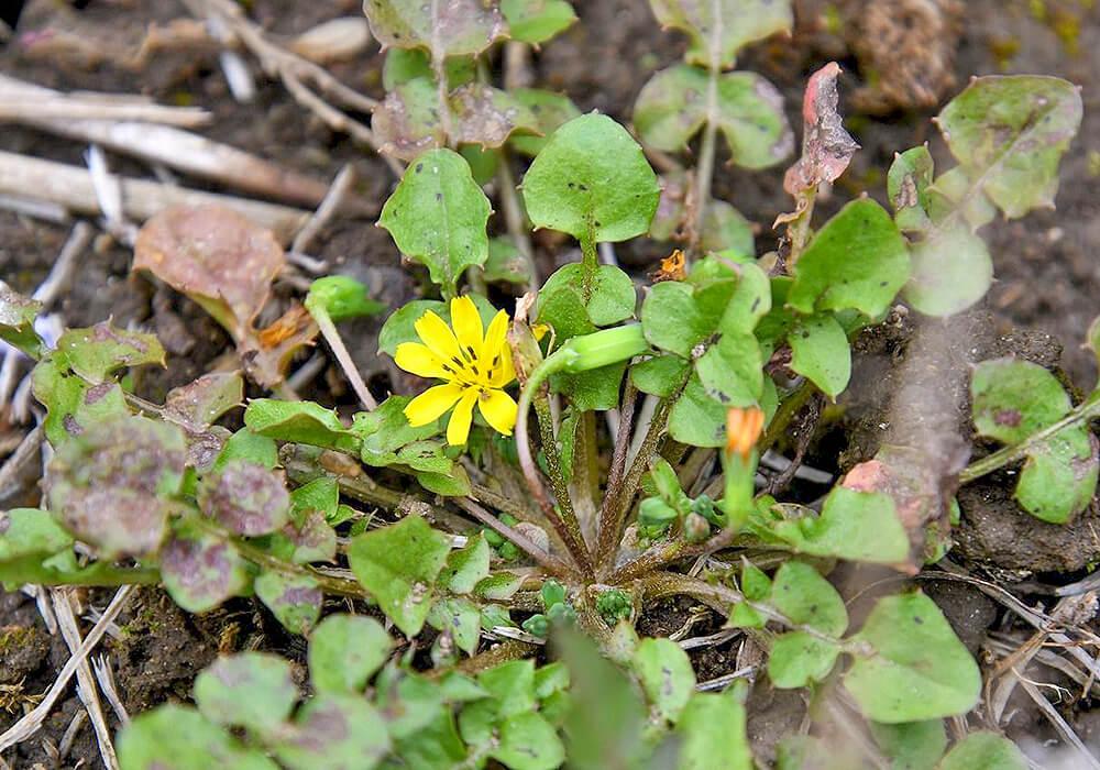 コオニタビラコの花