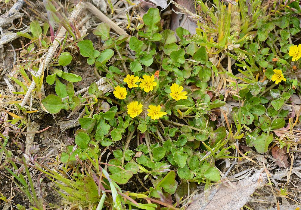 コオニタビラコの花と葉