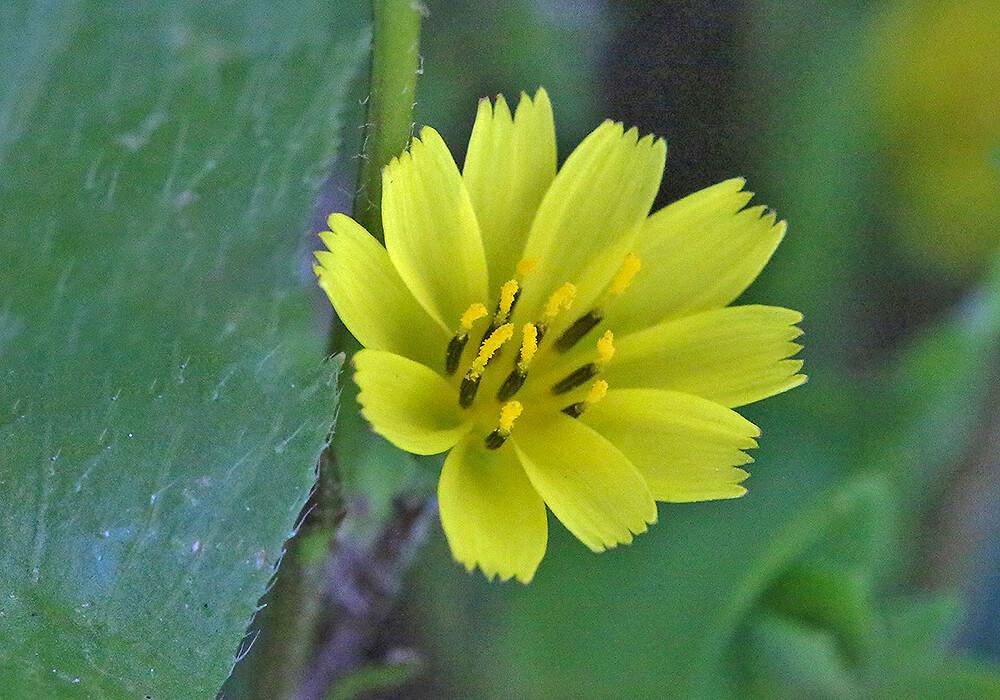 コオニタビラコの花の拡大