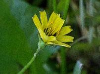 コオニタビラコの植物図鑑と育て方