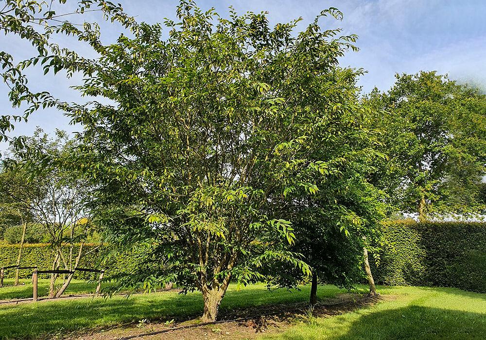 クマシデの木