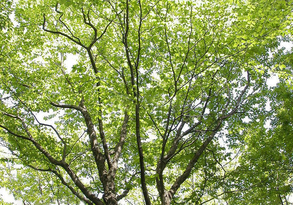 ミズメの木