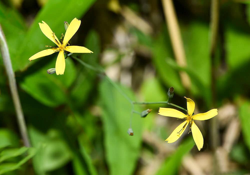 ニガナの花の拡大