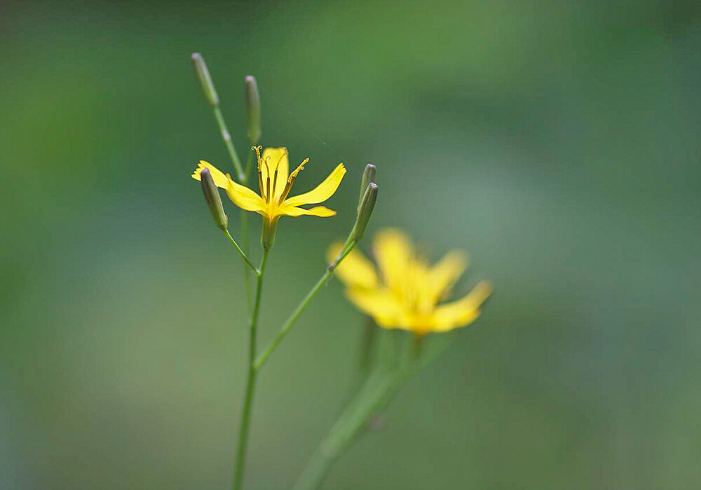 ニガナの花と蕾