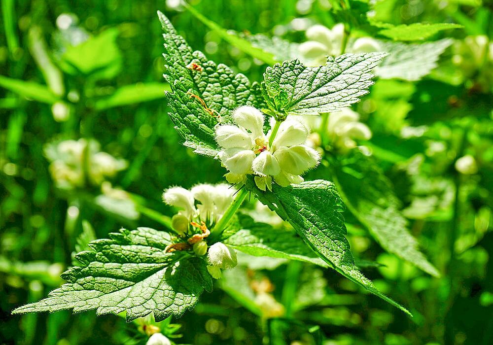 オドリコソウの花と葉