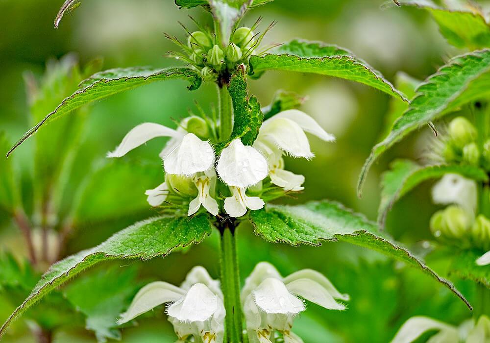 オドリコソウの白い花