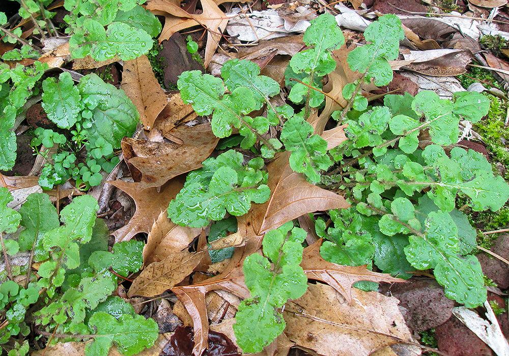 オニタビラコの葉