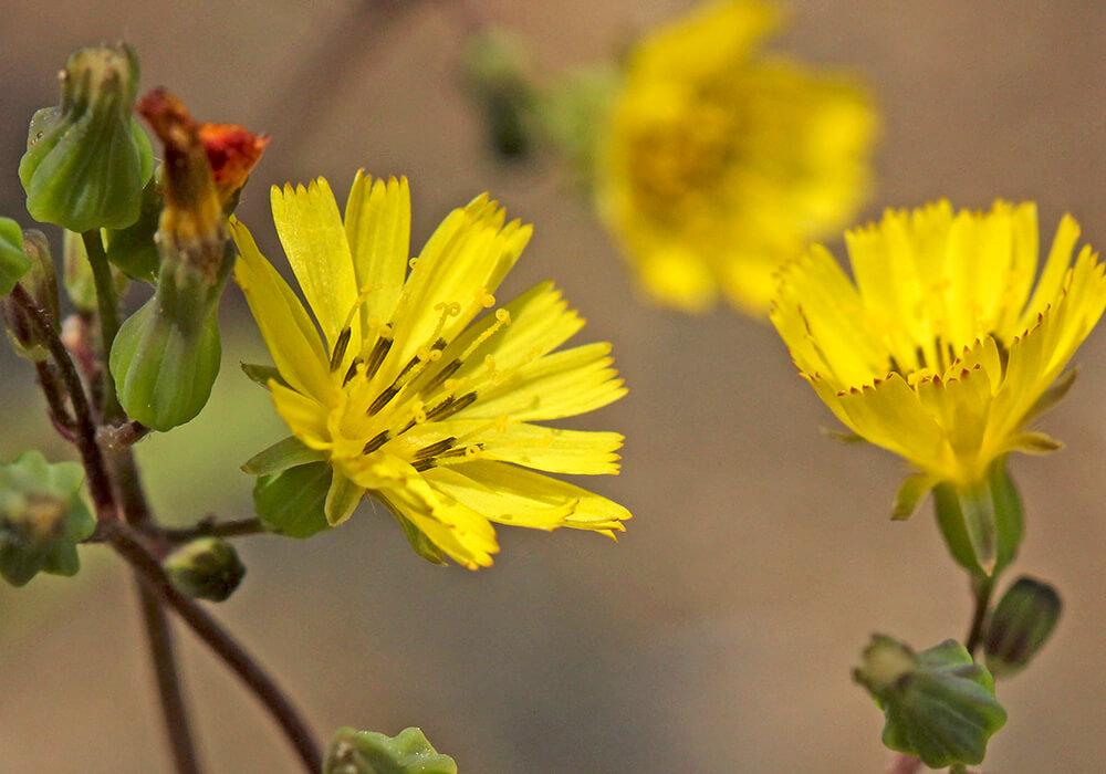 オニタビラコの花と蕾
