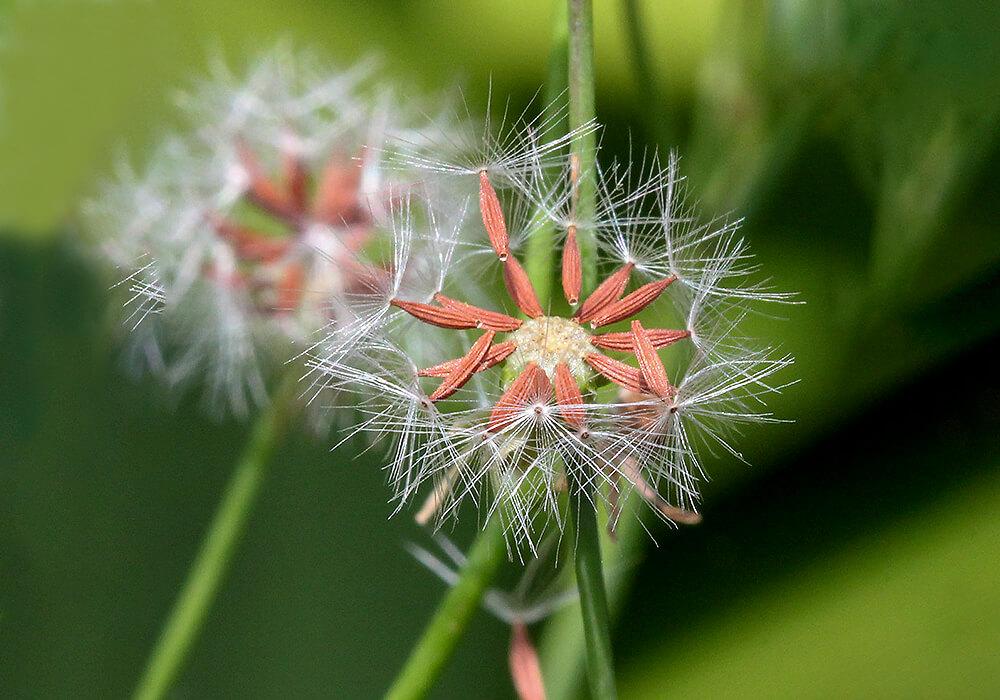 オニタビラコの種子