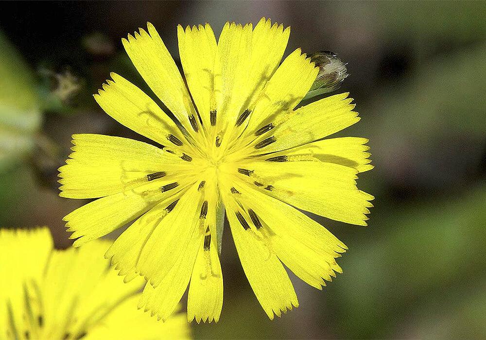 オニタビラコの花の拡大