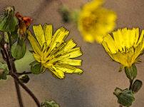 オニタビラコの植物図鑑と育て方