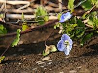 オオイヌノフグリの植物図鑑と育て方