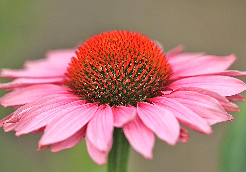 ピンクのルドベキアの花