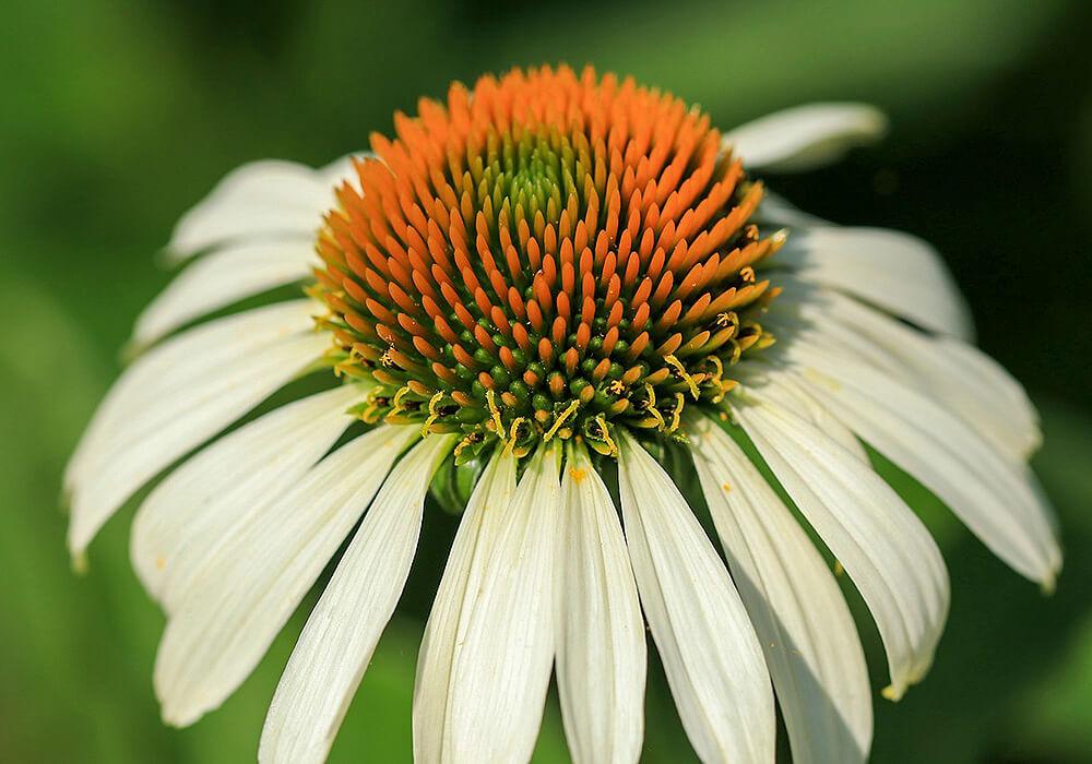 白いルドベキアの花