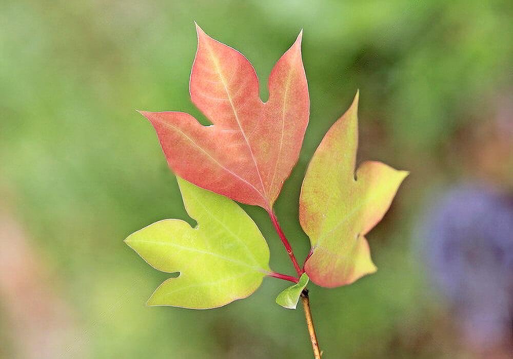 シロモジの紅葉した葉