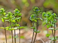 タチイヌノフグリの植物図鑑と育て方