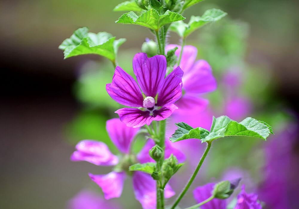 ウスベニアオイの花と茎
