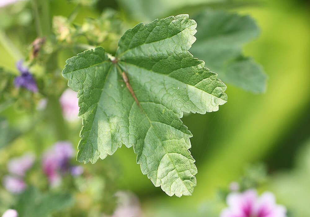 ウスベニアオイの葉