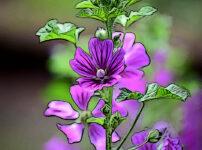 ウスベニアオイの植物図鑑と育て方