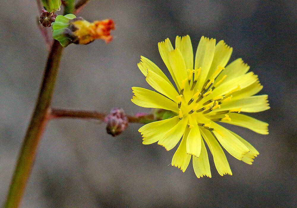ヤブタビラコの花の拡大