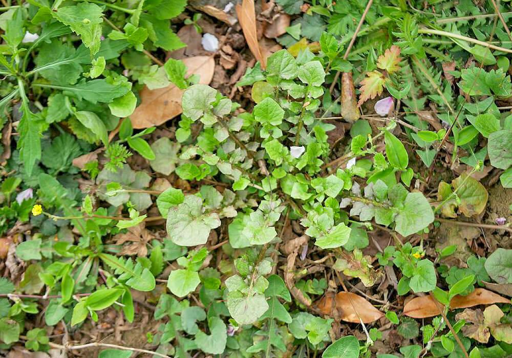 ヤブタビラコの葉