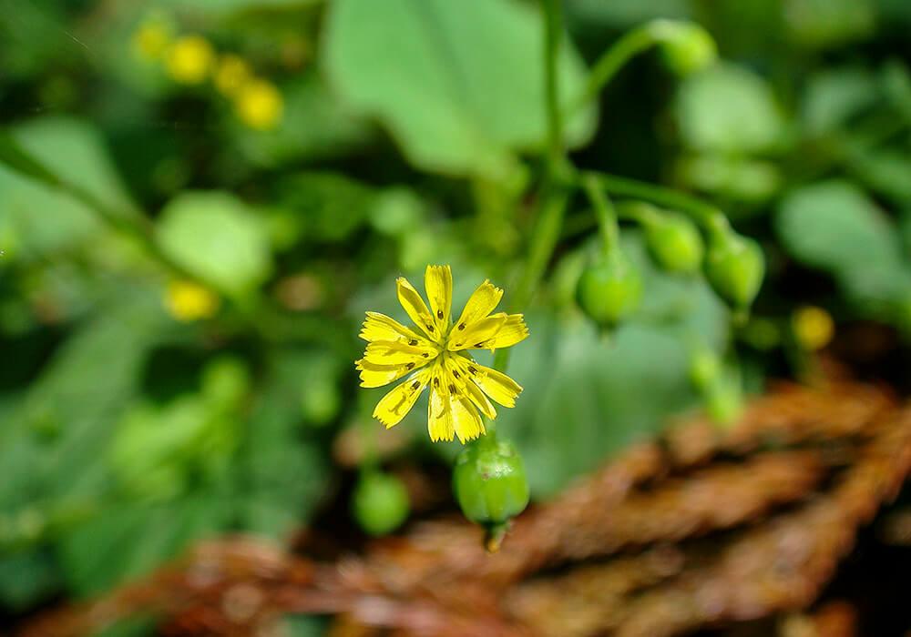 ヤブタビラコの花