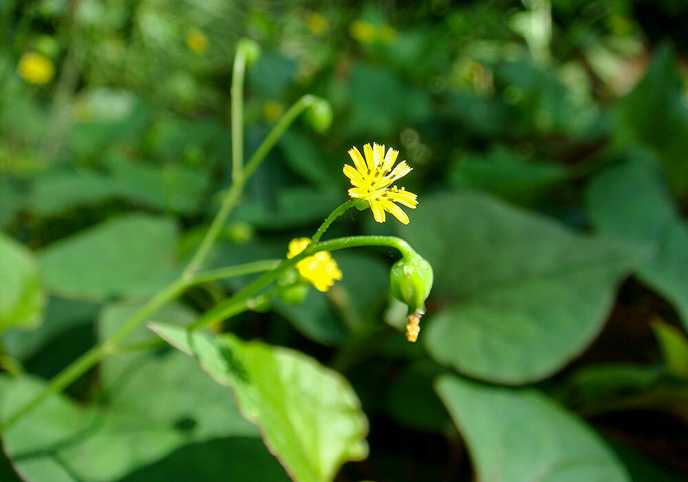 ヤブタビラコの花と茎