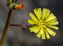 ヤブタビラコの植物図鑑と育て方